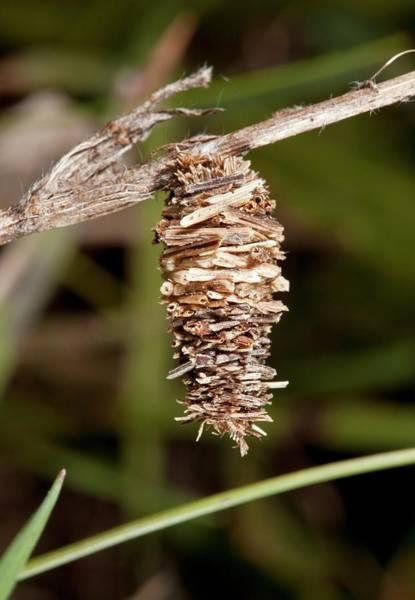 Pupa Photograph - Psychid Moth Pupal Case by Bob Gibbons