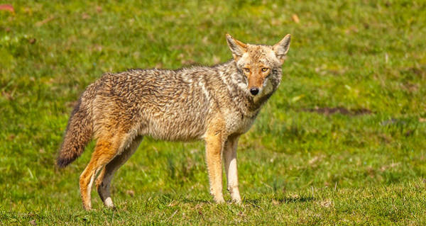 Photograph - Pt Reyes Coyote by Kevin  Dietrich