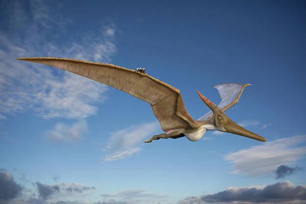 Wall Art - Photograph - Pteranodon In Flight by Roger Harris/science Photo Library