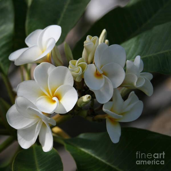 Polynesian Photograph - Pua Melia Na Puakea Onaona Tropical Plumeria by Sharon Mau
