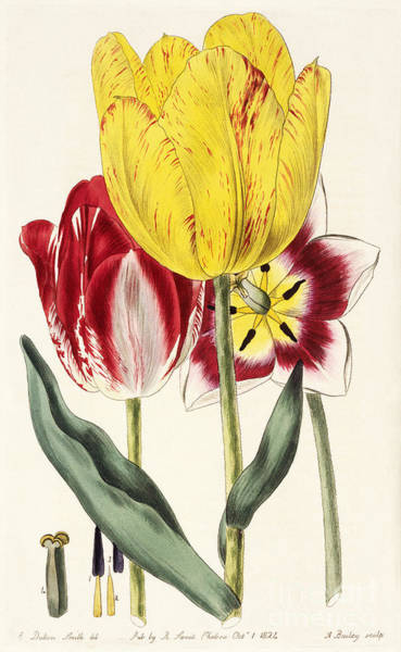 Photograph - Pubescent-stalked Tulip 1824 by Getty Research Institute