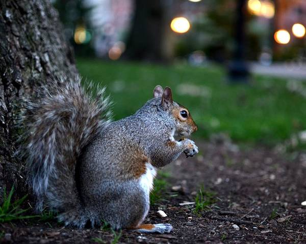 Photograph - Public Garden Squirrel by Toby McGuire