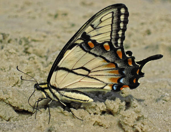 Photograph - Puddling Eastern Tiger Swallowtail Butterfly by Lara Ellis