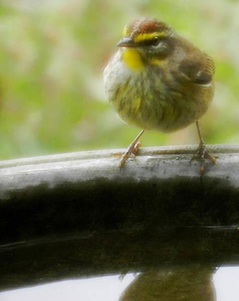 Photograph - Pudgie Little Warbler by Grace Dillon