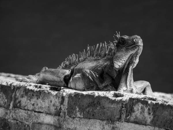 Photograph - Puerto Rico Iguana 001 Bw by Lance Vaughn