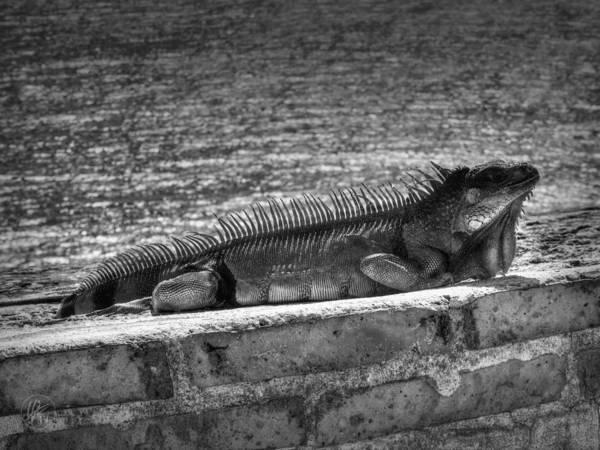 Photograph - Puerto Rico Iguana 002 by Lance Vaughn