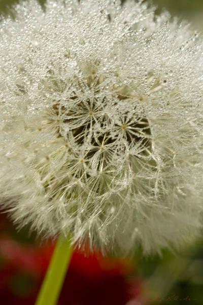 Ns Photograph - Puff Dandelion by Iris Richardson