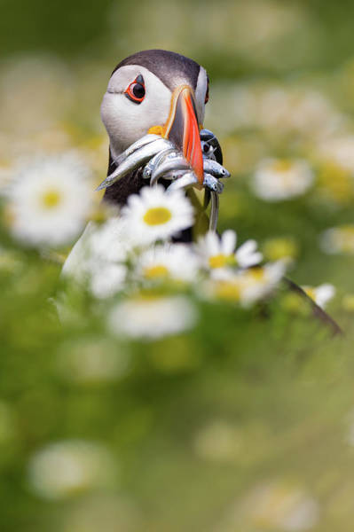 Fish Photograph - Puffin & Daisies by Mario Su?rez