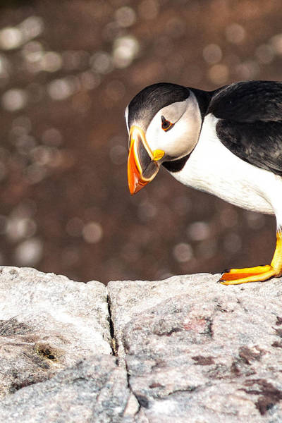Photograph - Puffin Making An Entrance by Perla Copernik