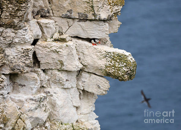 Wall Art - Photograph - Puffin Peeps From Under A Rock by Louise Heusinkveld