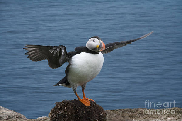 Photograph - Puffin Ready To Fly by Heiko Koehrer-Wagner