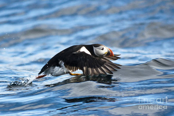 Photograph - Puffin Starting To Fly by Heiko Koehrer-Wagner