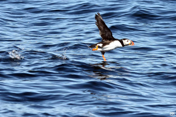 Photograph - Puffin Take Off by John Meader