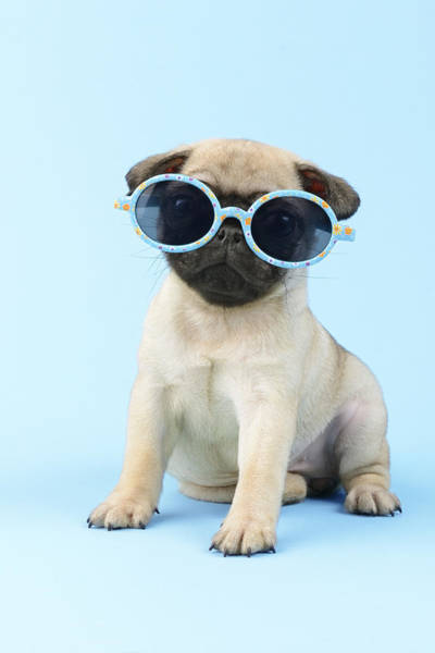 Pug Photograph - Pug Cool by MGL Meiklejohn Graphics Licensing