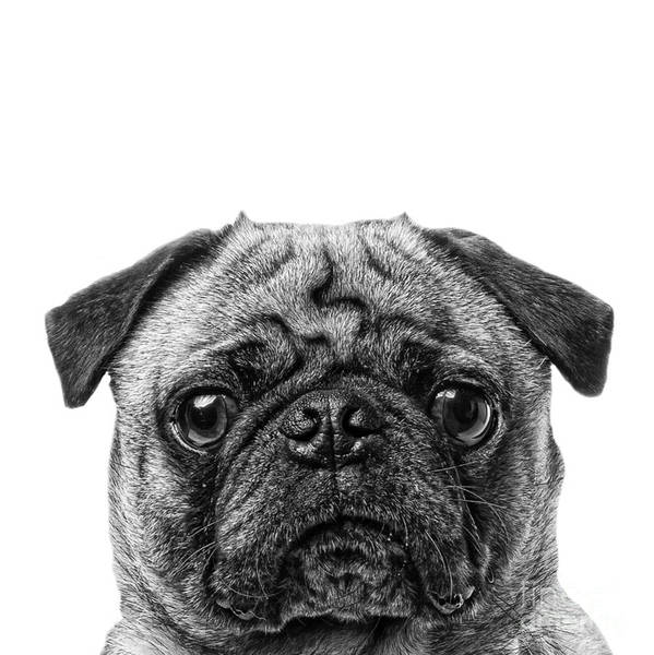 Pug Photograph - Pug Dog Square Format by Edward Fielding