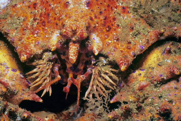 Queen Charlotte Sound Wall Art - Photograph - Puget Sound King Crab by Jeff Rotman