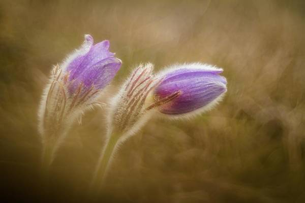 Tender Photograph - Pulsatilla Pratensis by Photozo