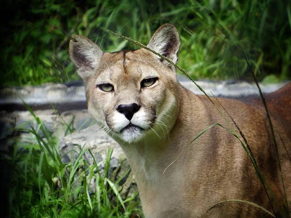 Catamount Photograph - Puma Concolor by Kurt Van Wagner