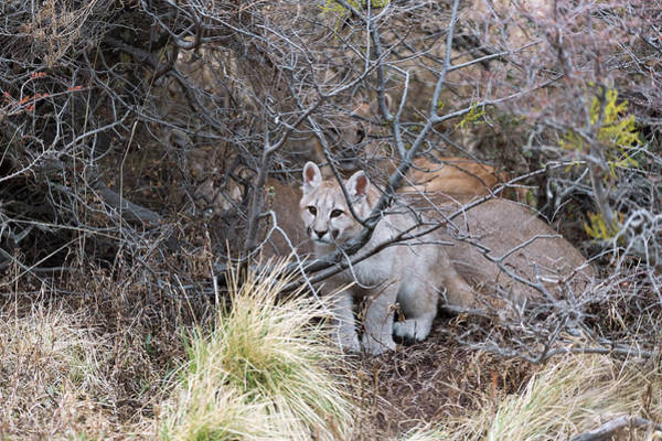Puma Photograph - Puma Cub With Its Mother by Dr P. Marazzi/science Photo Library