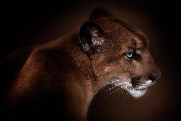 Puma Photograph - Puma by Doris Reindl