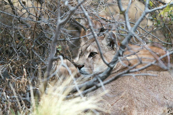 Puma Photograph - Puma Female by Dr P. Marazzi/science Photo Library