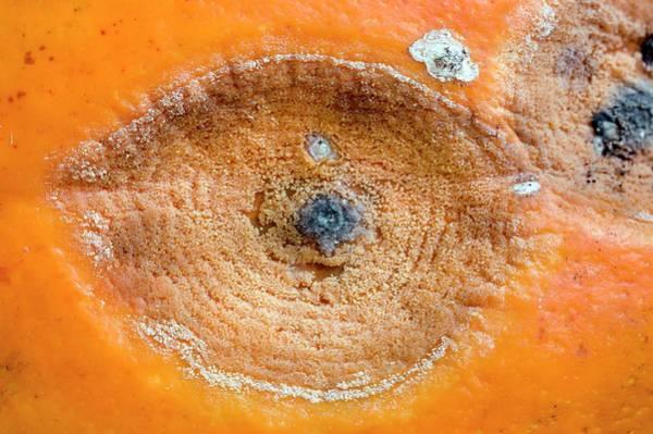 Cucurbita Wall Art - Photograph - Pumpkin Black Rot by Dr Jeremy Burgess