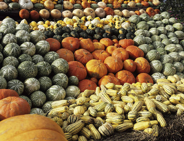 Cucurbita Wall Art - Photograph - Pumpkin Display by Lesley G Pardoe/science Photo Library