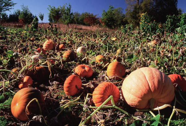 Cucurbita Wall Art - Photograph - Pumpkin Field by David Nunuk/science Photo Library