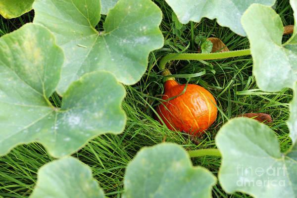 Cucurbit Photograph - Pumpkin In The Grass by Michal Boubin