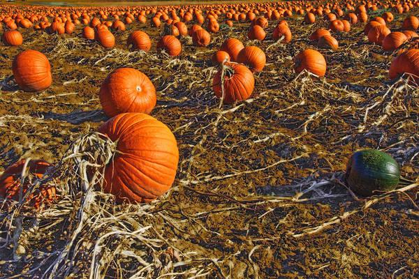 Photograph - Pumpkin Patch 1 by David Phoenix