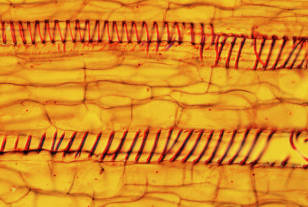 Cucurbita Wall Art - Photograph - Pumpkin Xylem Tissue by Astrid & Hanns-frieder Michler/science Photo Library