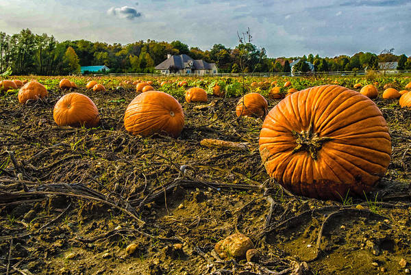 Photograph - Pumpkins Picking by Louis Dallara
