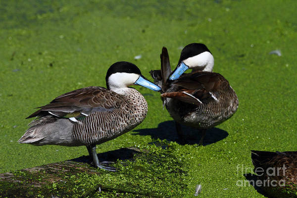 Photograph - Puna Teal by James Brunker