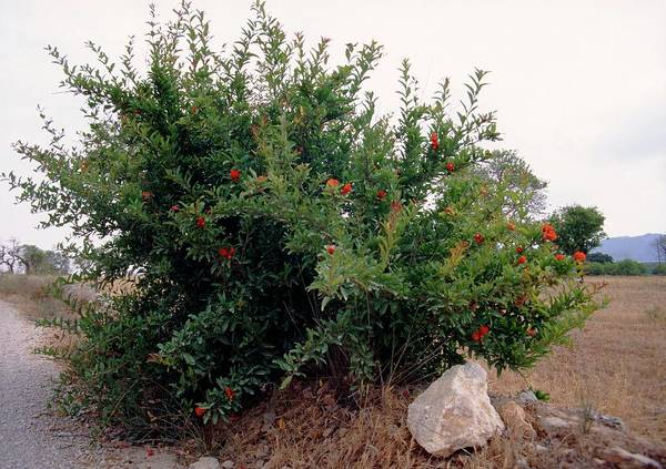 Native Plant Photograph - Punica Granatum by A S Gould/science Photo Library