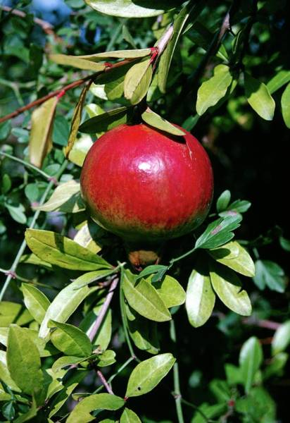 Native Plant Photograph - Punica Granatum by Annie Poole/science Photo Library