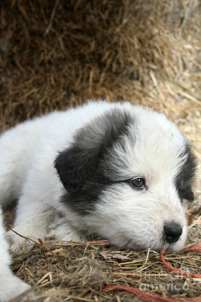 Great Pyrenees Photograph - Pup Number 2 by Dwight Cook