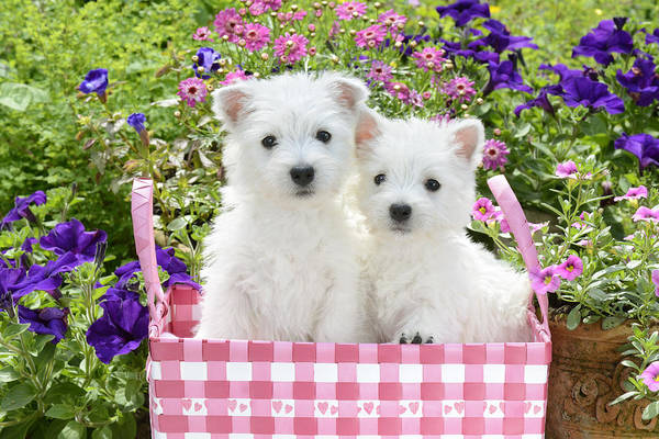 Westie Photograph - Puppies In A Pink Basket by MGL Meiklejohn Graphics Licensing