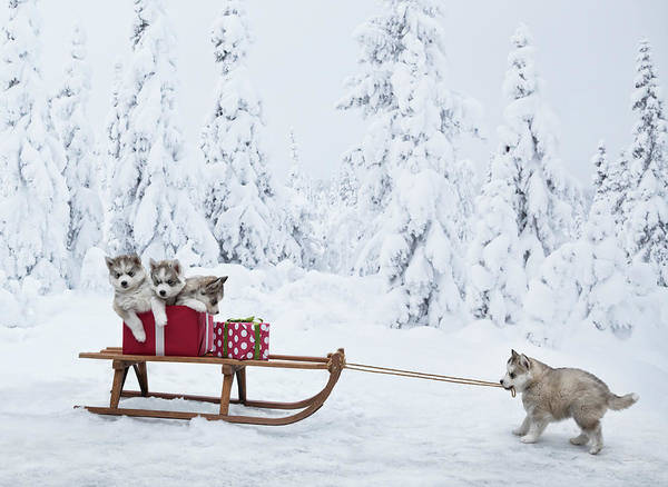 Pets Photograph - Puppies With A Sled Full Of Christmas by Per Breiehagen