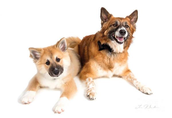 Agile Photograph - Puppy And Adult Icelandig Sheepdog by Iris Richardson