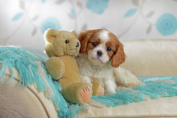 King Charles Spaniel Painting - Puppy And Teddy by MGL Meiklejohn Graphics Licensing