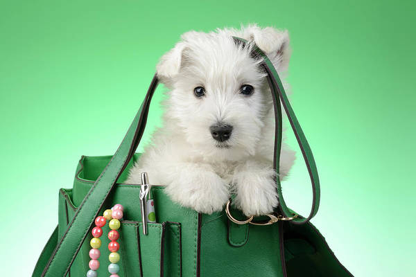 West Highland Painting - Puppy Green Bag 2 by MGL Meiklejohn Graphics Licensing