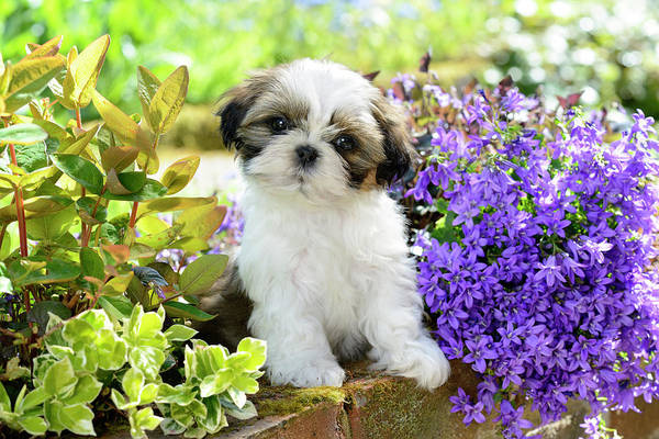 Wall Art - Painting - Puppy In Amoungst Flowers by MGL Meiklejohn Graphics Licensing