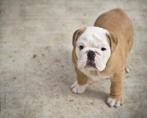 Puppy Photograph - Puppy by Jody Trappe Photography