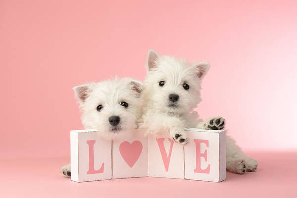 Westie Photograph - Puppy Love by MGL Meiklejohn Graphics Licensing