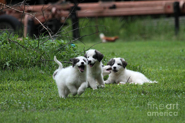 Great Pyrenees Photograph - Puppy Power 2 by Dwight Cook