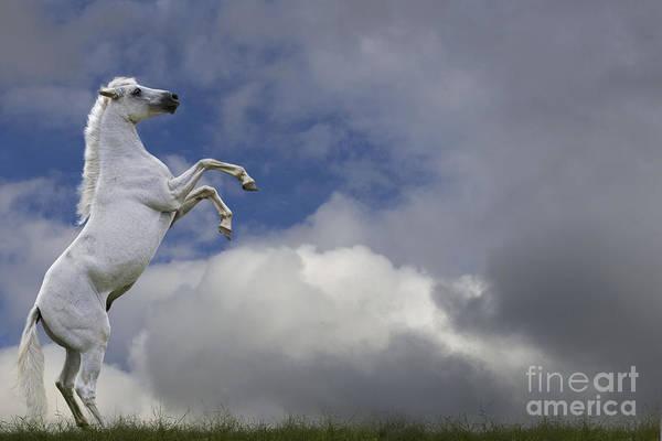 Photograph - Pure Blood Arabian Horse Rearing by Jean-Michel Labat