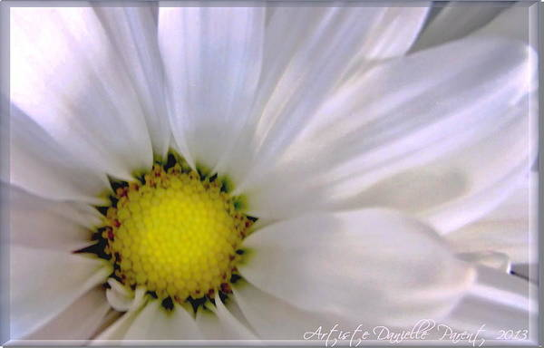 Photograph - Pure White Daisy by Danielle  Parent