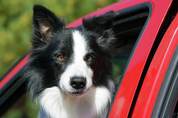 Collie Photograph - Purebred Border Collie Looking Out Red by Piperanne Worcester