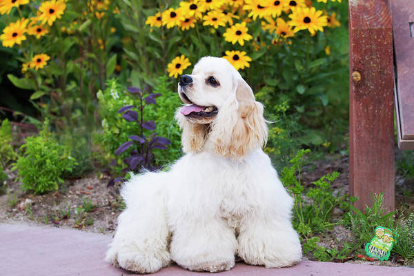 Canine Photograph - Purebred Cocker Spaniel by Piperanne Worcester
