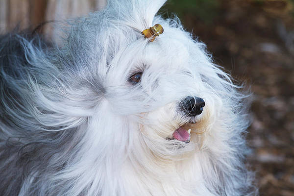 Canine Photograph - Purebred Havanese Coat Blowing by Piperanne Worcester